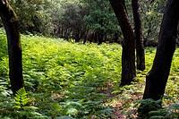Bosque y helechos en Noja. Cantabria. España. Europa.