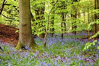 Bluebells. Forest. Pangbourne. Oxfordshire. England.