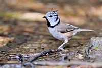Crested tit (Lophophanes cristatus). Sierra de Mijas, Malaga province, Andalusia, Spain.