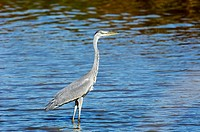 Grey heron (Ardea cinerea) standing on the shallow waters of a river. Andalucia, Spain.