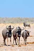 Blue wildebeests (Connochaetes taurinus), adults and young standing on arid ground, Etosha National Park, Namibia, Africa.
