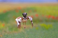 Europe, Spain, Catalonia, male Little bustard (Tetrax tetrax), displaying in a field with poppies.