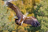 Europe, Spain, Catalonia, Lerida province, Boumort, Griffon vulture in the game reserve, feeding station.