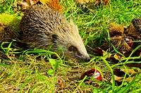 Western European hedgehog. Western Hedgehog. Northern Hedgehog (Erinaceus europaeus). Covelo. Pontevedra. Spain. Europe.