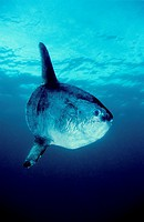 Sunfish (Mola mola). Eastern Atlantic. Galicia. Spain