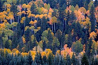 Fall colors have arrived via Aspen Trees at Kaibab National Forest, Arizona.