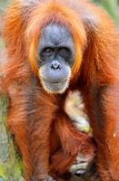 Orangutan in the jungle in Bukit Lawang, Sumatra, Indonesia.