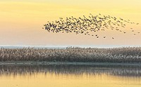 Common side moritos (Plegadis falcinellus) flying over the Reedbeds at dawn. Doñana Natural Park. Seville. Andalusia. Spain.