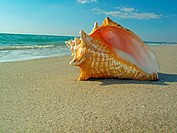 Queen conch shell on beach.