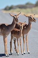 Black-faced impalas (Aepyceros melampus petersi), females standing on a paved road, Etosha National Park, Namibia, Africa.