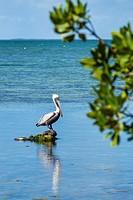 Florida, Upper Florida Keys, Key Largo, Florida Bay, Florida Keys Center, centre, Laura Quinn Wild Bird Sanctuary, refuge, pelican,