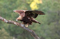äguila Real (Aquila chrysaetos) en Extremadura, Spain.