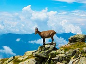 Road to Monte Legnone, Valvarrone, Province of Lecco, region Lombardy. A steinbock on a rock.