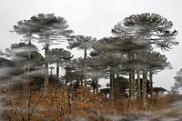Forest of Araucarias.