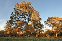 oak tree grove after selection cutting in the Forest of Rambouillet, Haute Vallee de Chevreuse Regional Natural Park, Yvelines department, Ile-de-Fran...