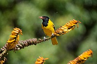 Blackheaded Oriole (Oriolus larvatus) on twig, Kruger National Park, Transvaal, South Africa.