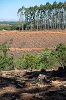 Harvested forest, Agatha, Tzaneen district, Limpopo province, South Africa.