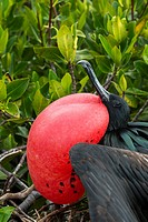 Close-up of a male frigate bird with inflated throat pouch (breeding season) on Genovesa Island (Tower Island) in the Galapagos Islands, Ecuador.