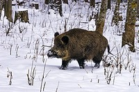 Wild pig in a snowy wintery forest.