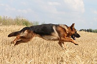 Dog German Shepherd Dog Deutscher Schäferhund