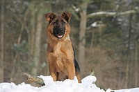 Dog German Shepherd Dog Deutscher Schäferhund