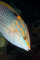 Checkerboard Wrasse, Halichoeres hortulans, South Male Atoll, Maldives.