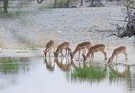 Impala (Aepyceros melampus). Etosha National Park. Namibia. Africa