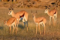 Springboks (Antidorcas marsupialis), two adult females with two young, early morning, Kgalagadi Transfrontier Park, Northern Cape, South Africa, Afric...
