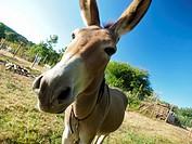 Donkey. Hortasan organic farm at Feal, San Mamede de Ribadulla Parish, Vedra Council. A Coruña province near Santiago de Compostela city. Galicia Auto...