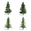 Cedar trees, isolated on white background.