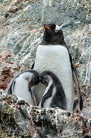 Gentoo penguin mother with two chicks on a rocky outcropping in Antarctica.