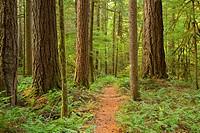McKenzie River National Recreation Trail, McKenzie Wild and Scenic River, Willamette National Forest, Oregon.