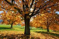 cherry tree plantation in autumn, Prunus avium, Basel, Switzerland.