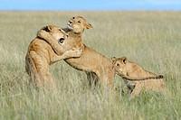 Young lions (Panthera leo) playing together, Maasai Mara national reserve, Kenya.