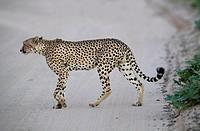 Cheetah (Acinonyx jubatus), Kgalagadi Transfrontier Park, Kalahari desert, South Africa/Botswana.