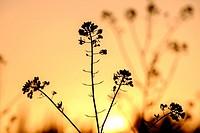 brizna de colza a contraluz, Sencelles, Mallorca, balearic islands, spain, europe.