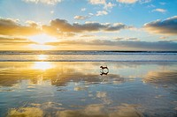 A small dog running a La Jolla Shores beach in la Jolla, California.
