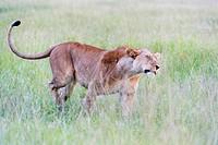 Lioness (Panthera leo) shaking of water on the savanna, Maasai Mara national reserve, Kenya.