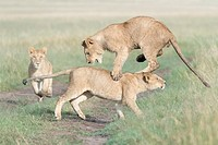 Young lions (Panthera leo) playing together, Maasai Mara national reserve, Kenya.