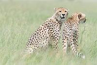 Two Cheetah (Acinonix jubatus) on the look out at savanna, Maasai Mara National Reserve, Kenya.