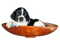 A 4 week old black and white English Springer Spaniel puppy in a basket.
