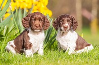 Two 6 week old English Springer Spaniel puppys (sisters) in the Uk.