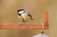 A Great Tit (Parus major) in the Uk.