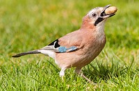 A Jay ( Garrulus glandarius ) with an acorn in the Uk.