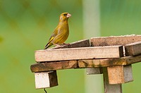 A male Greenfinch (Carduelis chloris) in the Uk.