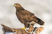 Buteo buteo (Buteo buteo), Photographed in the Espinar Segovia.