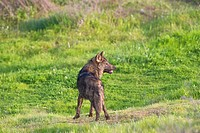 Wolf (Canis lupus), Photographed under controlled conditions in Guillena - Las Pajanosas, Seville.