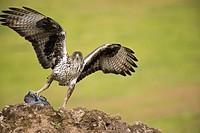 Bonelli´s eagle (Aquila fasciata). Photographed at Adamuz in Sierra Morena Andalucia.