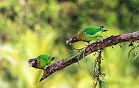 "Two Brown-hooded parrot, Pyrilia haematotis, sitting in a tree, one is """"talking""""to the other, at Laguna del Lagarto, Boca Tapada, San Carlos, Costa ..."
