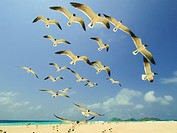 Seabird, grup of Seagull fly, los roques, venezuela